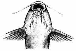 Synodontis lufirae