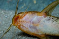 Synodontis macrostoma