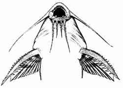 Synodontis marmoratus