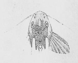 Synodontis multimaculatus