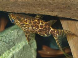 Synodontis nigriventris - Click for species data page