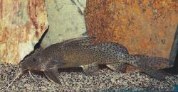 Synodontis nigromaculatus