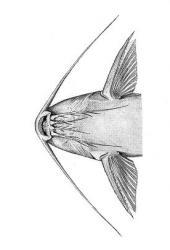 Synodontis njassae