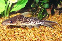 Synodontis pleurops - Click for species data page