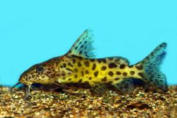 Synodontis rebeli - Click for species data page