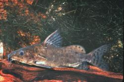 Synodontis robbianus - Click for species page