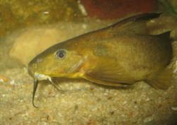 Synodontis rufigiensis