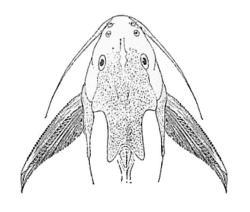 Synodontis schall
