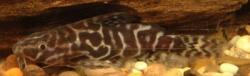 Synodontis serpentis - Click for species page