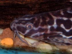 Synodontis serpentis