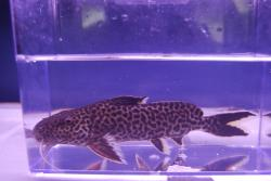 Synodontis sp. `CROCODILE ISLAND` - Click for species page