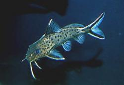 Synodontis sp. (4) - Click for species page