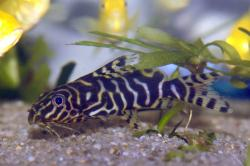 Synodontis sp. hybrid(3) - Click for species page