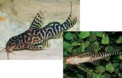 Synodontis sp. hybrid(3)