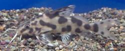 Synodontis sp. hybrid(4) - Click for species page