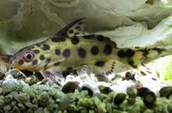 Synodontis sp. hybrid(4)