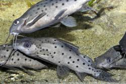 Synodontis sp. hybrid(7) - Click for species page