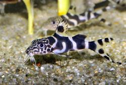 Synodontis sp. hybrid(9) - Click for species page