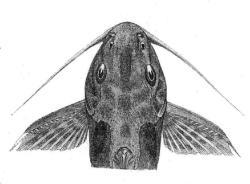 Synodontis tourei