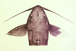 Synodontis unicolor