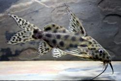 Synodontis velifer - Click for species data page