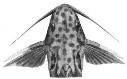 Synodontis velifer