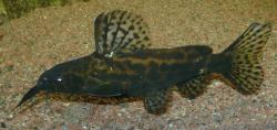 Synodontis waterloti