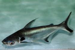 Pangasius larnaudii - Click for species data page