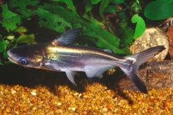Pangasius sanitwongsei - Click for species data page