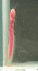 Phreatobius dracunculus