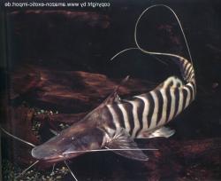 Brachyplatystoma tigrinum