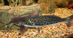 Calophysus macropterus