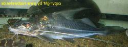 Iheringichthys labrosus
