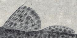 Leiarius perruno