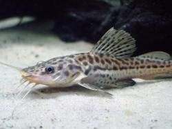 Phractocephalus sp. hybrid(2)