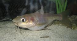 Phractocephalus sp. hybrid(3) - Click for species page