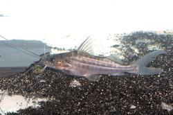 Pimelodus maculatus