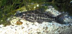 Pimelodus punctatus - Click for species page