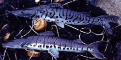 Pseudoplatystoma punctifer
