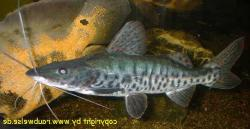 Pseudoplatystoma sp. hybrid(1) - Click for species page