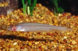 Porochilus argenteus