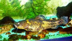 Batrochoglanis sp. (1) - Click for species page