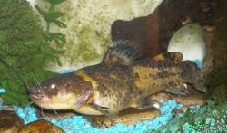 Batrochoglanis sp. (1)