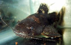 Microglanis malabarbai