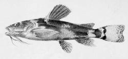 Microglanis parahybae