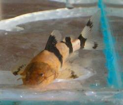Pseudopimelodus charus - Click for species page