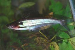 Schilbe multitaeniatus - Click for species page