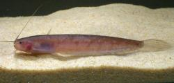 Silurichthys hasseltii - Click for species page