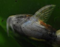 Caelatoglanis zonatus
