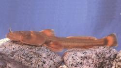 Creteuchiloglanis macropterus